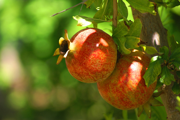 The pomegranate grows on a tree